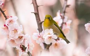 Picture flowers, branches, bird, beauty, blur, spring, petals, Sakura, bird, flowering, gently, yellow, bokeh, Japanese white-eye