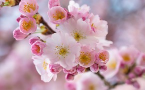 Picture macro, cherry, branch, spring, flowering, flowers, branch of cherry