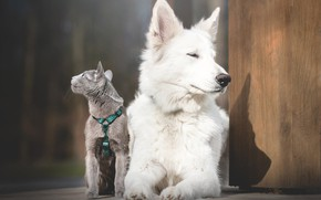 Picture cat, dog, The white Swiss shepherd dog, The Russian blue cat