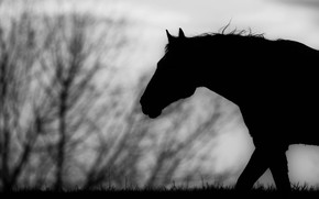 Picture horse, horse, black and white, silhouette, profile