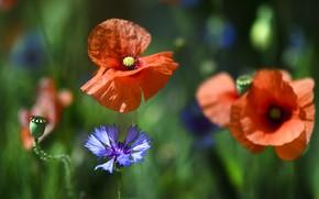 Picture nature, Mac, petals, cornflower