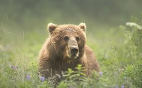 Wallpaper summer, grass, look, face, nature, green, background, glade, portrait, bear, meadow, bear, handsome, brown