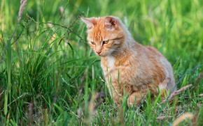 Picture cat, summer, grass, look, nature, kitty, red, kitty, sitting