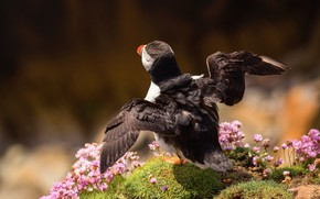 Picture flight, pose, background, bird, wings, hill, stalled, flowers, brown, the rise, stroke, Atlantic puffin, the …