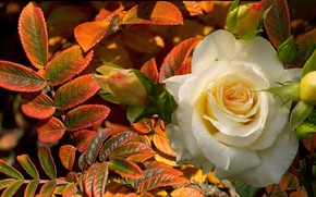 Picture autumn, leaves, Rosa, rose, white