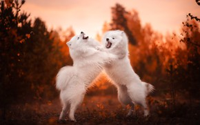 Picture autumn, showdown, bokeh, two dogs, Samoyed