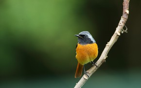 Picture bird, branch, bird, Redstart