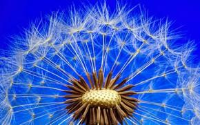Picture flower, nature, dandelion, blade