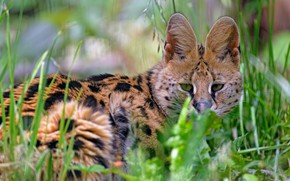 Picture grass, look, face, nature, lies, bokeh, Serval