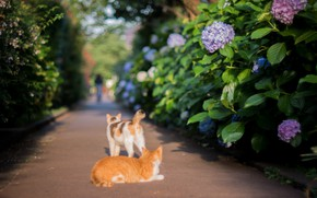 Picture Japan, hydrangea, on the road, two cats