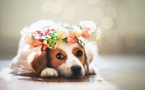 Picture look, dog, face, wreath, bokeh