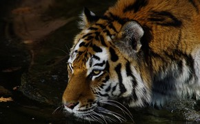 Picture look, face, water, night, tiger, pose, darkness, the dark background, portrait, drink, wild cat, pond