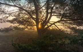 Picture rays, sunset, branches, fog, tree, dawn, pine, spreading