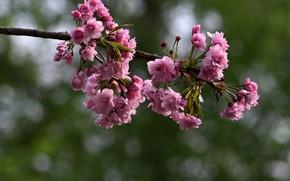 Picture Sakura, flowering in the spring, blur bokeh