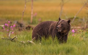Picture grass, look, trees, flowers, nature, pose, glade, bear, bear, snag, walk, brown