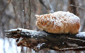 Wallpaper winter, cat, cat, look, snow, branches, nature, pose, tree, fluffy, red, sitting, snowfall, bitches
