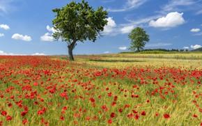 Picture field, summer, tree, Maki