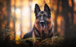Picture look, face, portrait, dog, bokeh, German shepherd