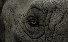 Picture rhino, eye, wrinkles