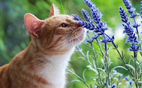 Wallpaper cat, summer, cat, look, face, flowers, nature, green, background, red, the smell, aroma, lavender, sniffing