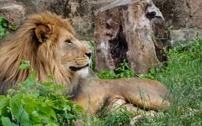 Picture nature, predator, Leo, resting, big cat