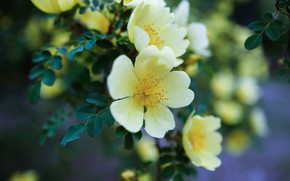 Picture leaves, flowers, yellow, nature, branch, petals, garden, briar, blurred background