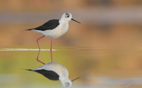 Picture water, surface, reflection, bird, Black-winged stilt