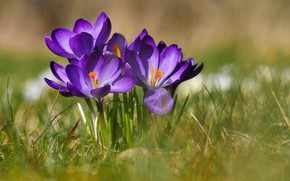 Picture grass, macro, bokeh, Crocuses, Saffron