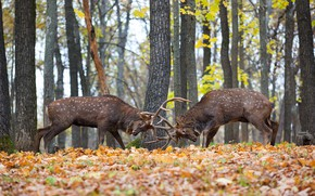 Picture forest, fight, deer, territory