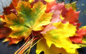 Picture autumn leaves, colorful, maple leaves
