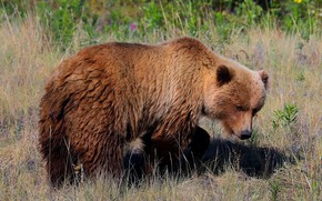 Picture summer, grass, pose, glade, bear, meadow, bear, bear, walk, young, brown