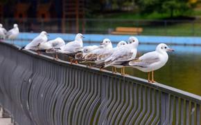 Picture summer, birds, bridge, river, shore, seagulls, pack, the fence, railings, white, rods, the bridge, pond, …