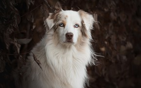 Picture look, face, portrait, dog, Australian shepherd, Aussie