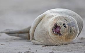 Picture smile, cub, common seal