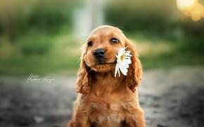 Picture flower, Daisy, puppy, face, bokeh, doggie, Ekaterina Kikot