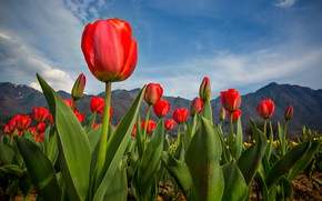 Picture mountains, spring, tulips