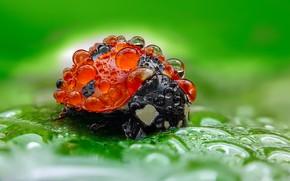 Picture drops, macro, ladybug