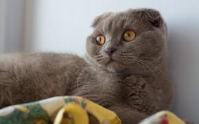Picture cat, cat, look, face, grey, portrait, fold, British