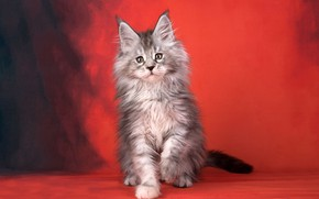 Picture cat, red, background, fluffy, kitty