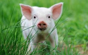 Picture grass, nature, pig, face, pig, pig, Piglet, pig