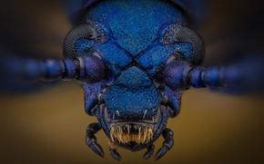 Picture macro, insect, Sagra coeruleata