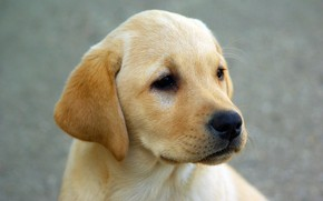 Picture look, dog, muzzle, puppy, ears, Labrador