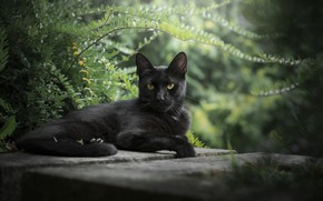 Picture grass, look, background, bokeh, black cat