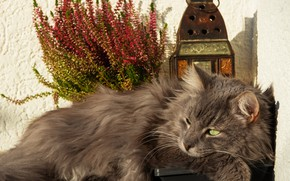 Picture cat, look, bouquet, lantern, lies, grey, still life
