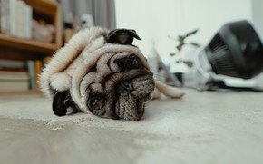 Picture face, house, stay, pug, lies, house, apartment, resting, lies, pug, resting, apartment, muzzle, recreation