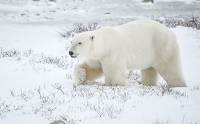 Picture snow, bear, polar