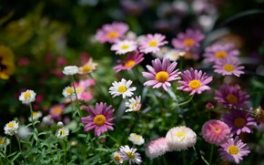 Picture flowers, pink, white, flowerbed, different, bokeh, feverfew