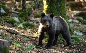 Picture forest, tree, moss, bear, bear, bear, brown