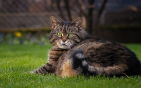 Picture cat, cat, look, face, grey, portrait, striped, thick, important, chubby