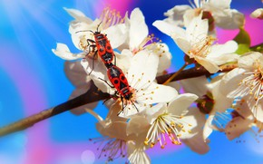 Picture macro, flowers, insects, background, blue, branch, spring, bugs, red, white, a couple, flowering, two, soldiers, …